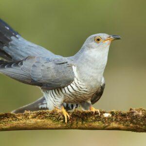 Kuckuck: Jungvogel, Eier, Bilder & mehr im Steckbrief