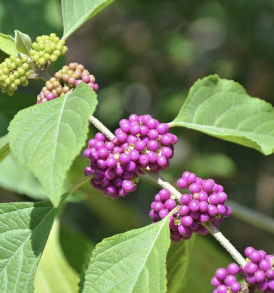 Liebesperlenstrauch: Pflanzen, pflegen & vermehren