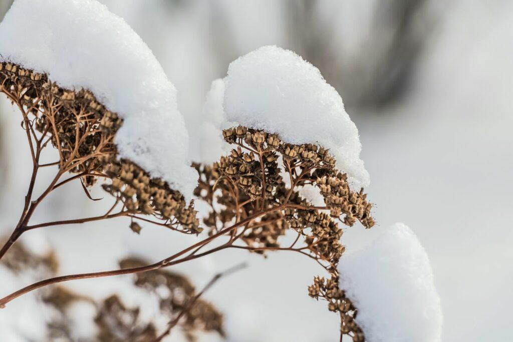 Mauerpfeffer im Schnee