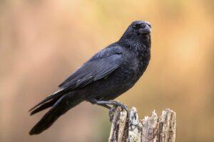 Rabenkrähe: Brutzeit, Jungvogel, Aussehen & mehr im Steckbrief
