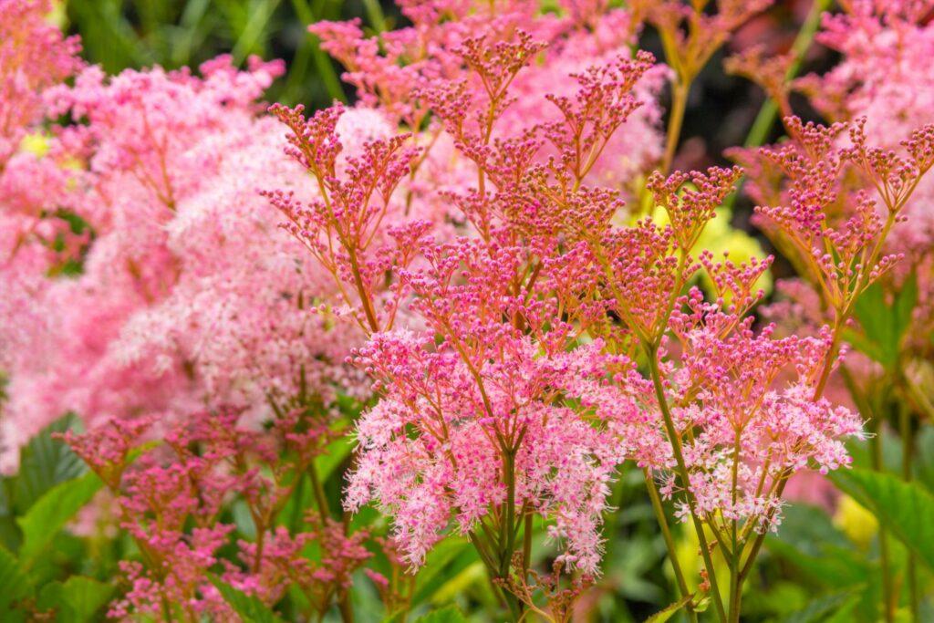 Rosa Mädesüß mit rosa Blüten