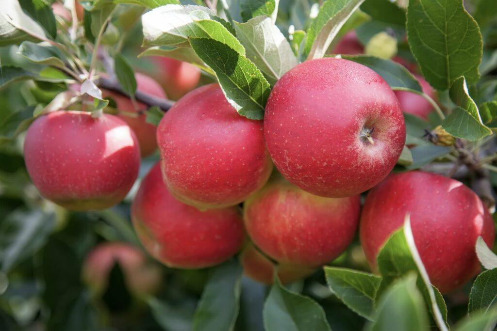 Roter Mond-Äpfel am Baum