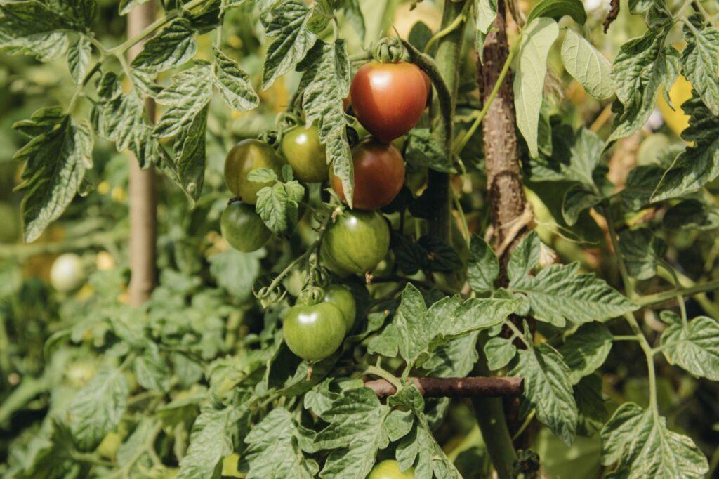 Ruthje-Tomaten an der Pflanze