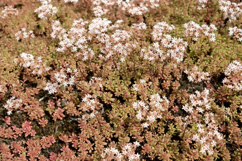 Sedum album mit weißen Blüten