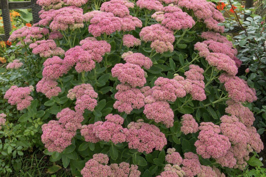 Pracht-Fetthenne mit rosa Blüten