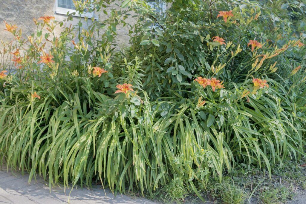 Lilien in Staudenbeet