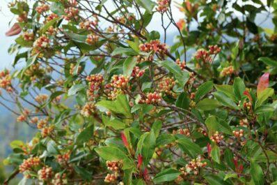 Gewürznelkenbaum: Anbau, Pflege & Verwendung