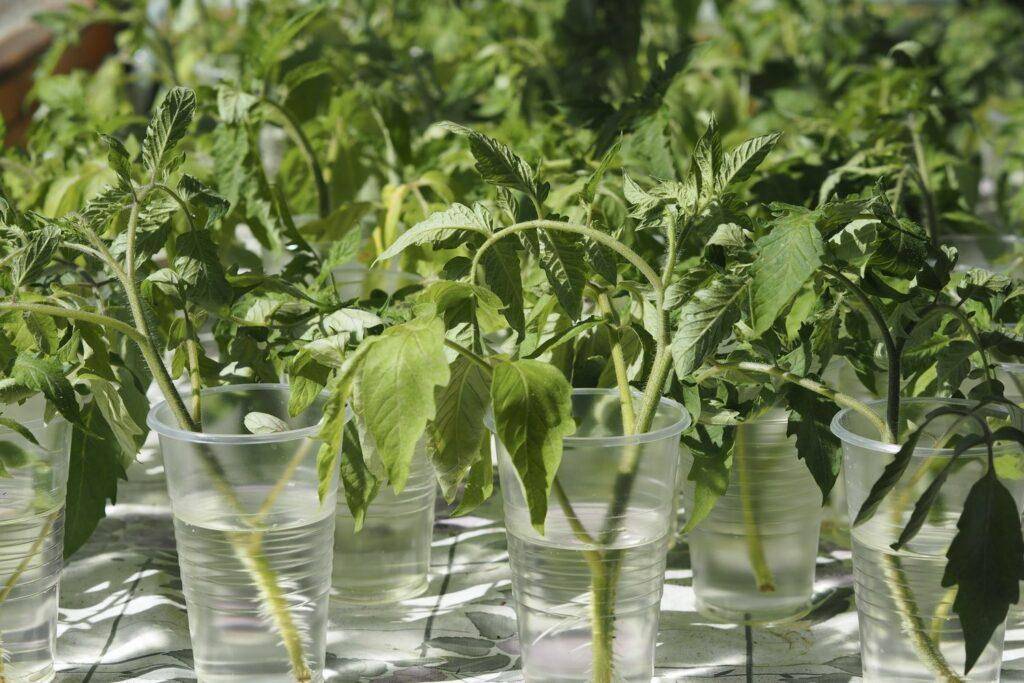 Ableger von Tomaten