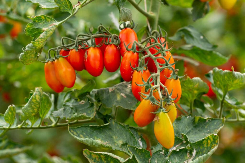 Tomaten Sorte Datterino
