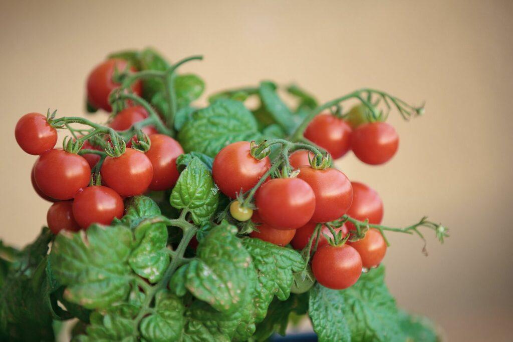 Tomaten überwintern im Topf