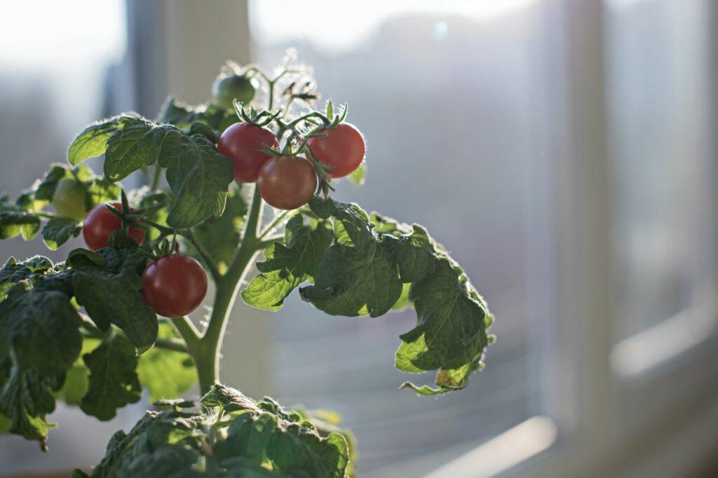 Tomate auf Fensterbrett überwintern