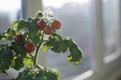 Tomaten überwintern: Experten-Tipps für Tomatenpflanzen im Winter