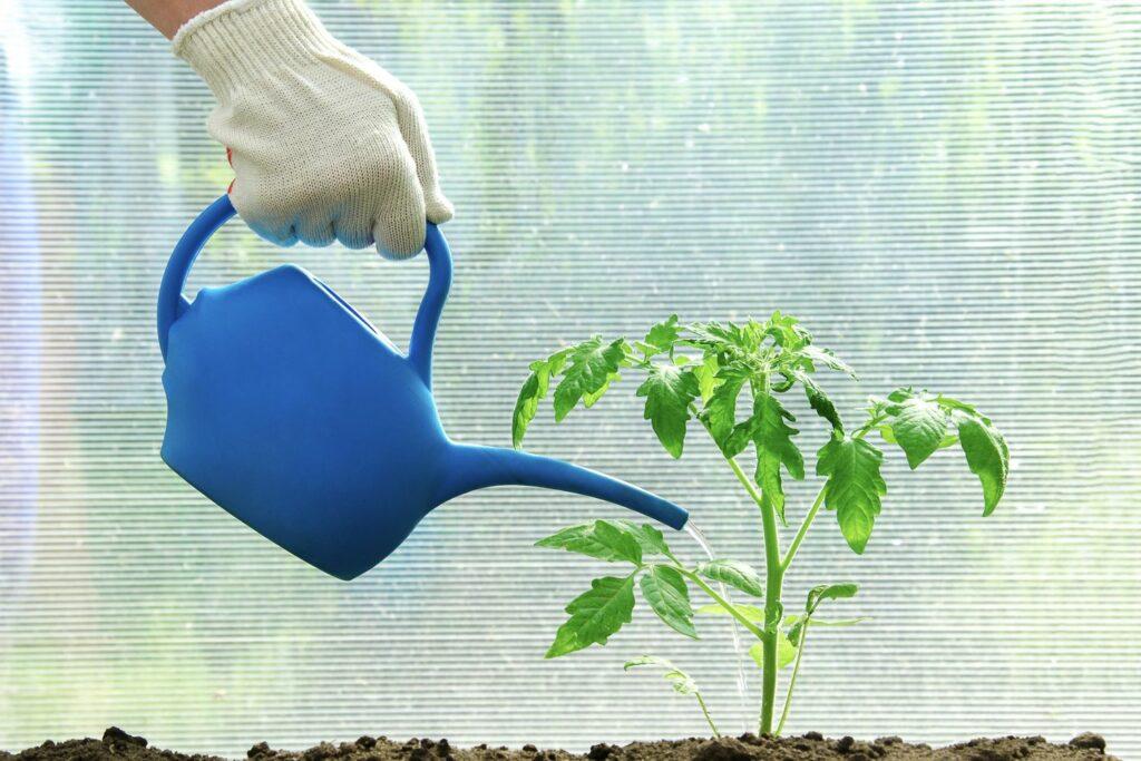Tomatenpflanze wird gegossen