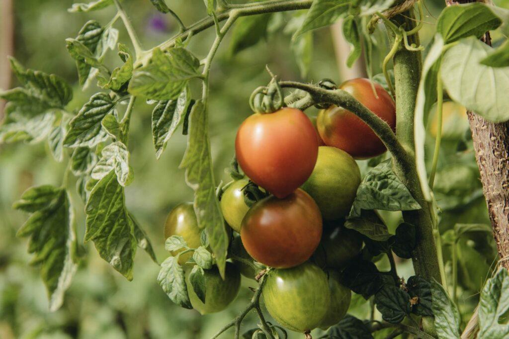 Ruthje-Tomaten am Strauch