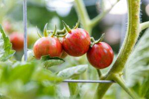 Tomate ˈSunrise Bumble Beeˈ: Anbau, Pflege & Verwendung