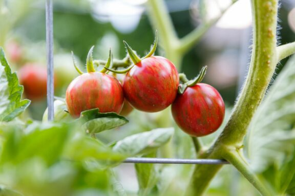 Tomate 'Sunrise Bumble Bee': Anbau, Pflege & Verwendung