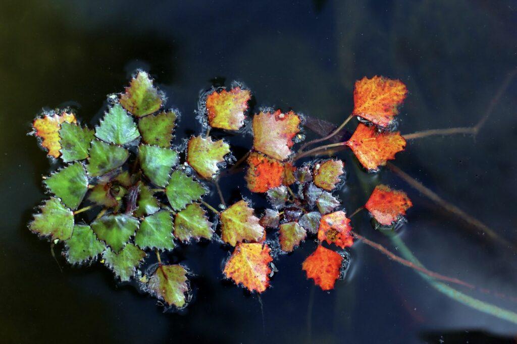 Wassernuss mit grünen und roten Blättern