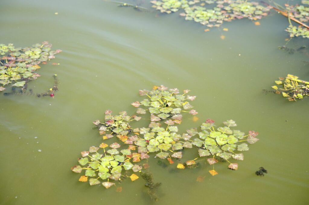 Wassernuss im Teich