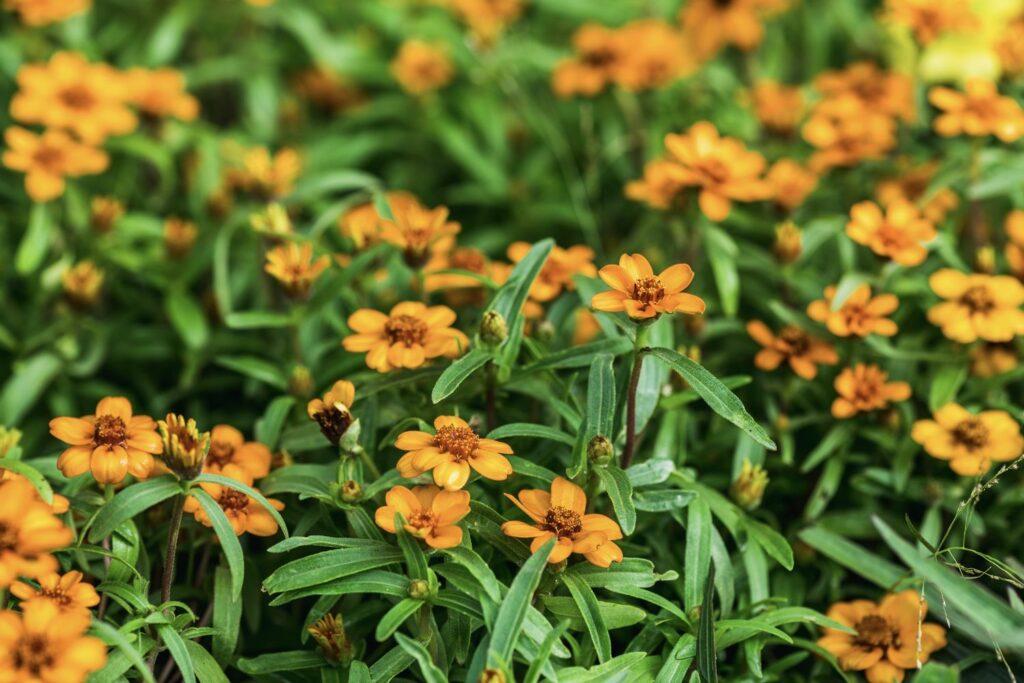 orangefarbene Schmalblättrige Zinnien