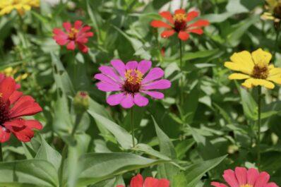 Zinnien: Pflanzen, Standortwahl & Pflege-Tipps