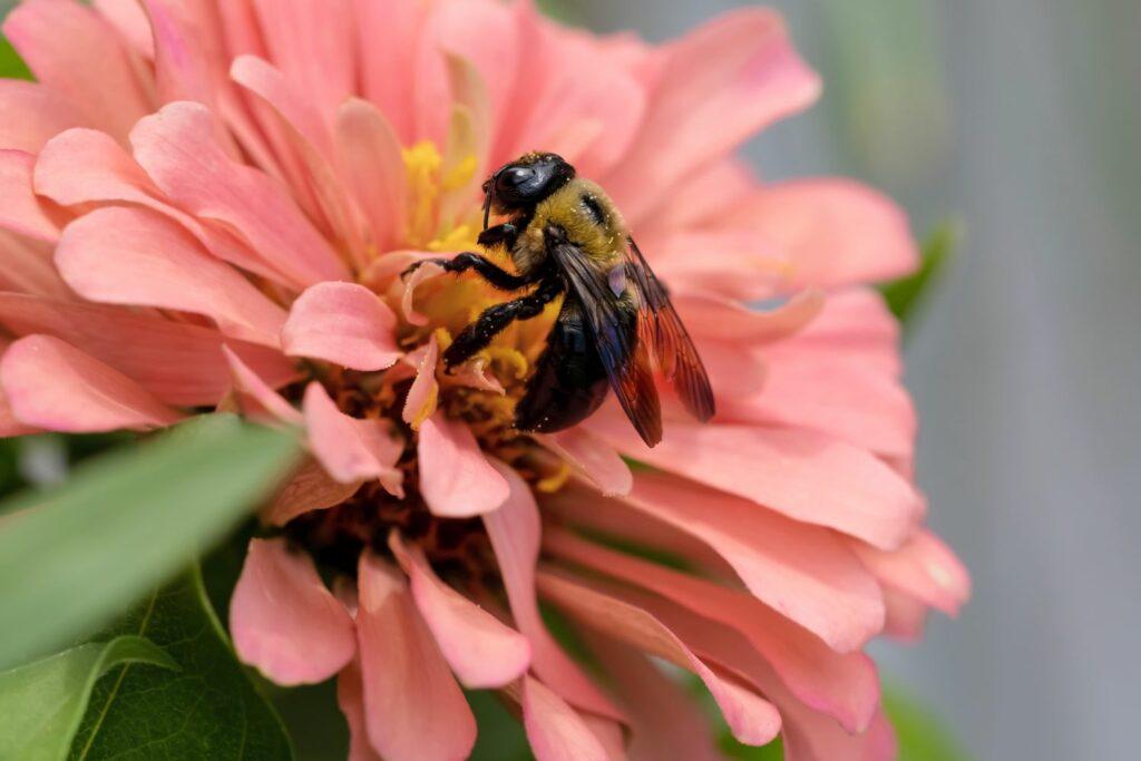 Biene auf rosa Zinnien-Blüte