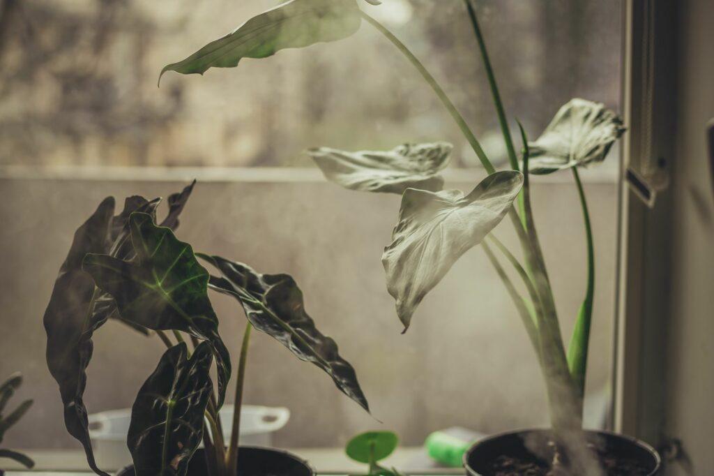 Alokasien auf dem Fensterbrett