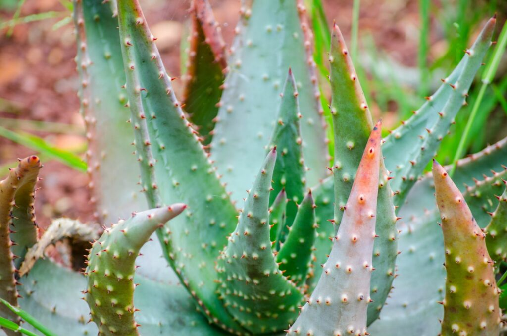 Aloe aculeata-Pflanze