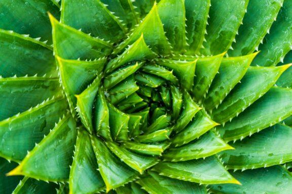 Aloe-Arten: Die schönsten Arten im Überblick