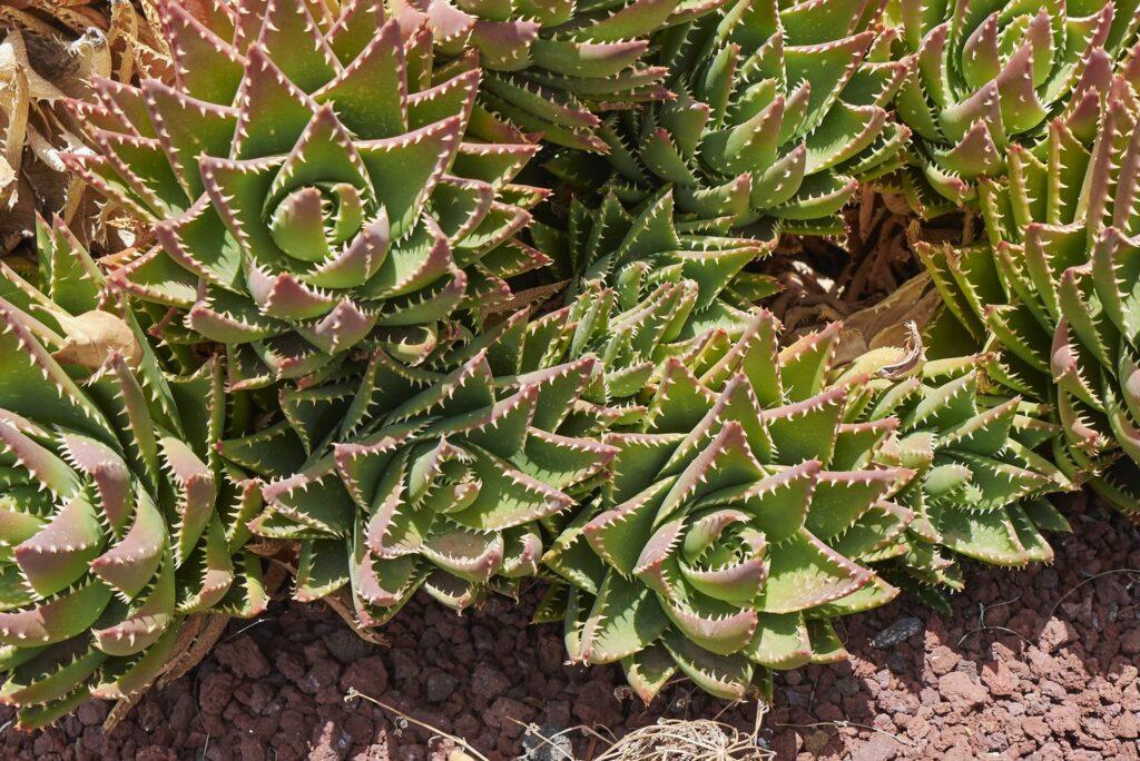Aloe mitriformis im Beet