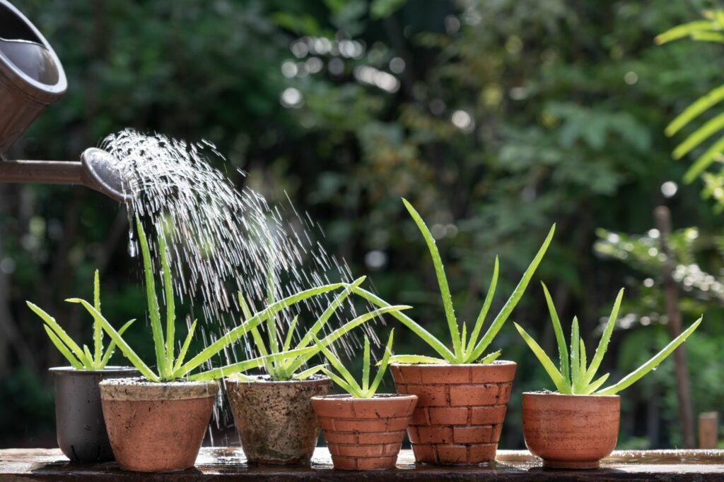 Aloe veras werden mit einer Gießkanne gegossen