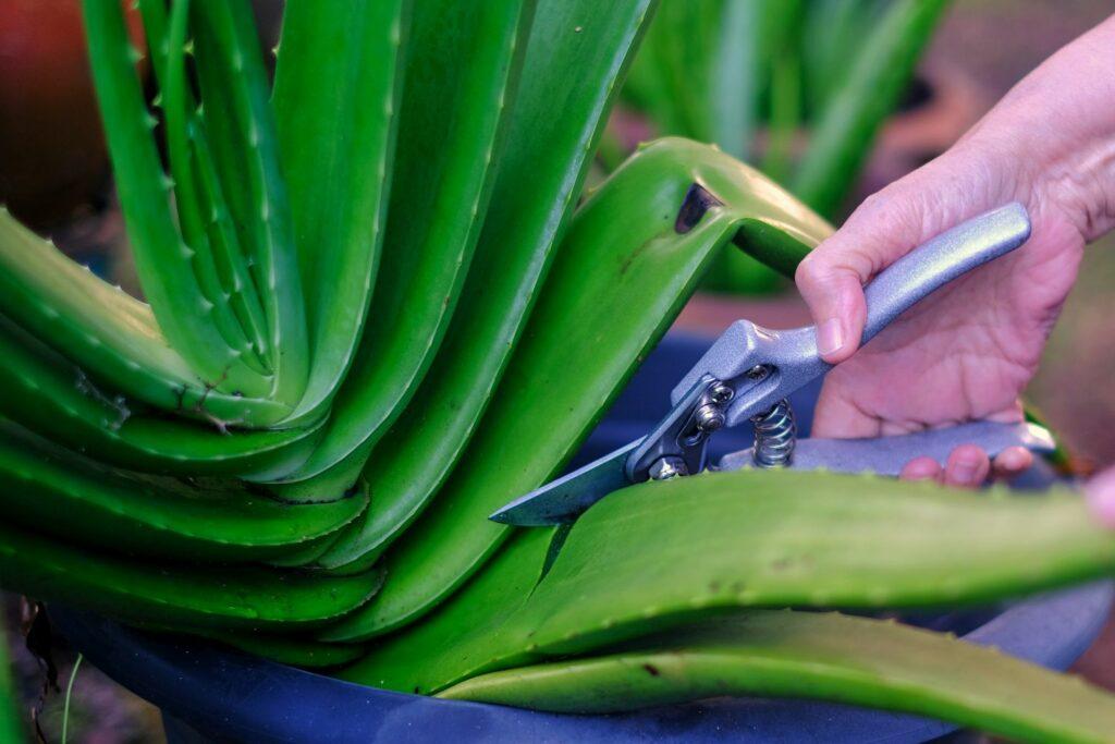 Aloe-vera-Pflanze wird mit einer Schere geschnitten