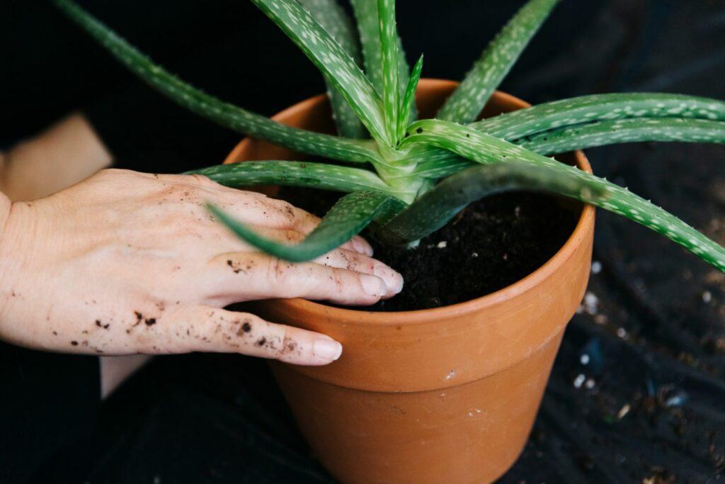 Aloe vera wird umgetopft
