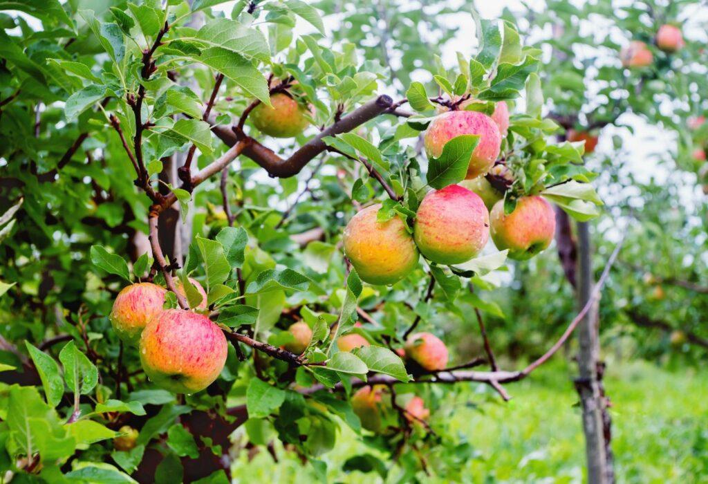 Topaz-Apfelbaum mit reifen Früchten
