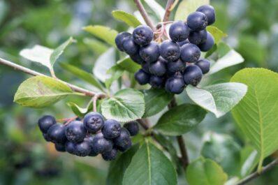 Aronia-Sorten: Die beliebtesten Arten & Sorten der Apfelbeere