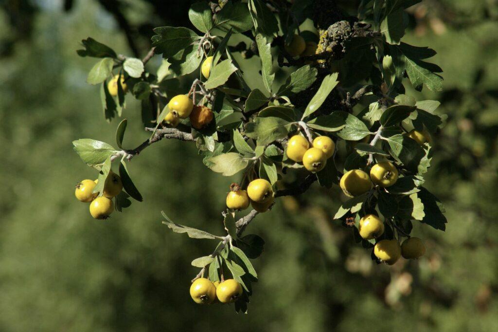 Azaroldorn mit Früchten