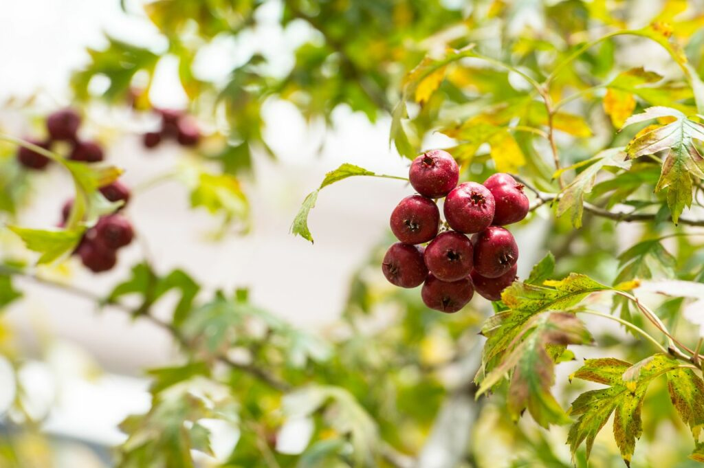 Chinesischer Weißdorn mit Früchten