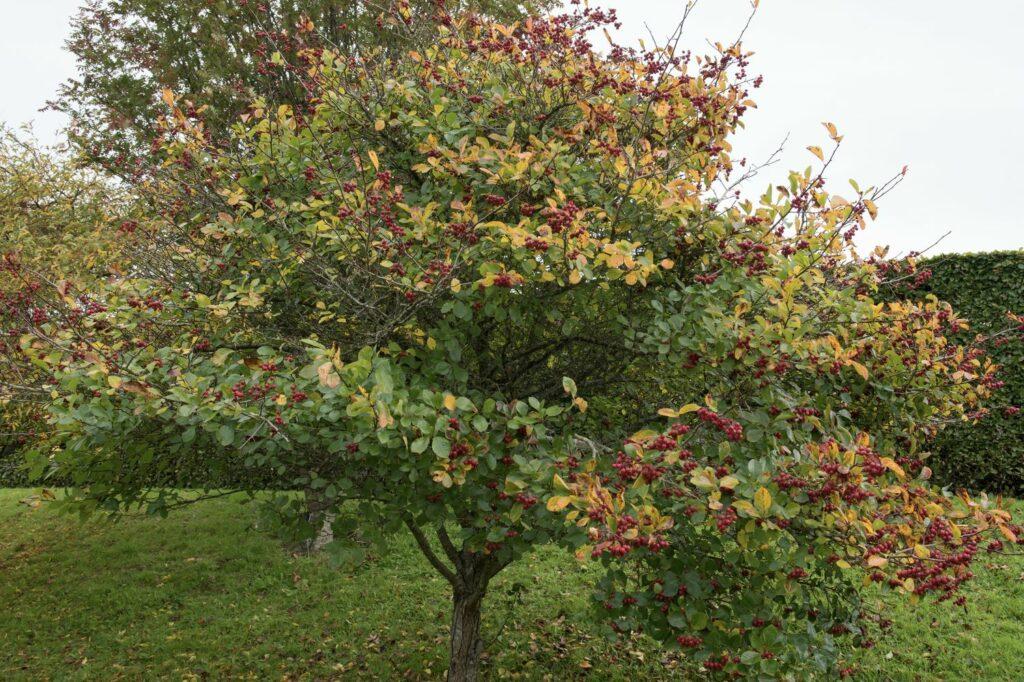 Pflaumenblättriger Weißdorn mit Herbstfärbung