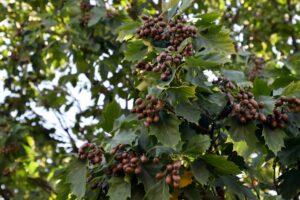 Elsbeere: Pflanzen & Verwendung der seltenen Baumart