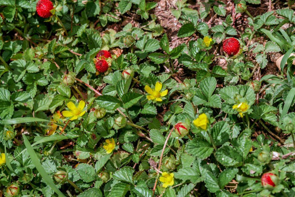 Falsche Walderdbeere mit gelben Blüten