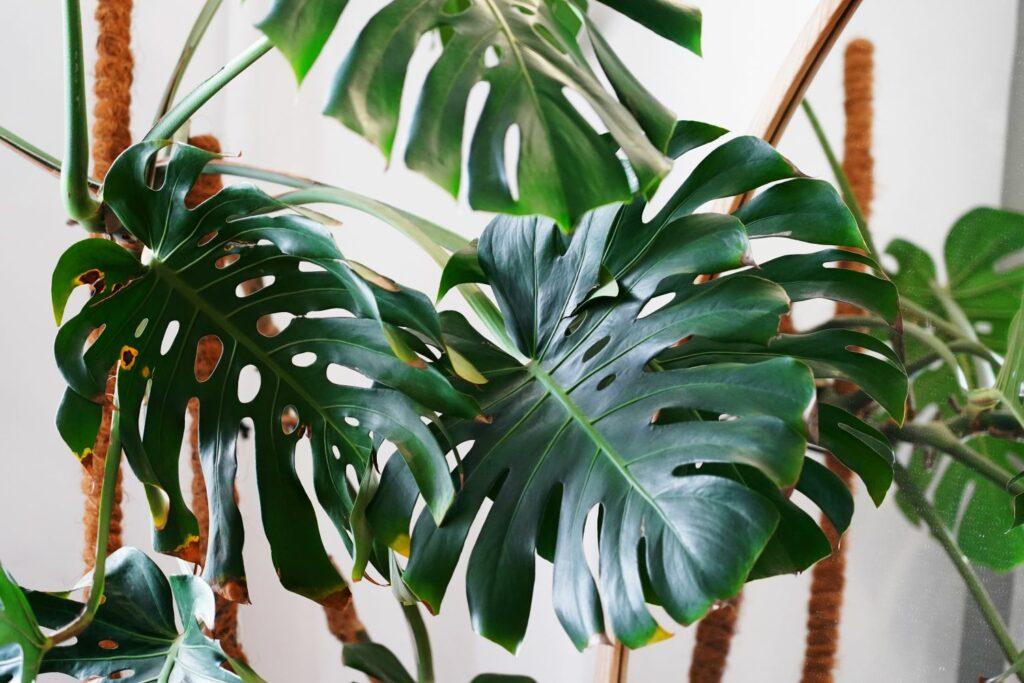 Monstera-Blätter mit gelben Spitzen