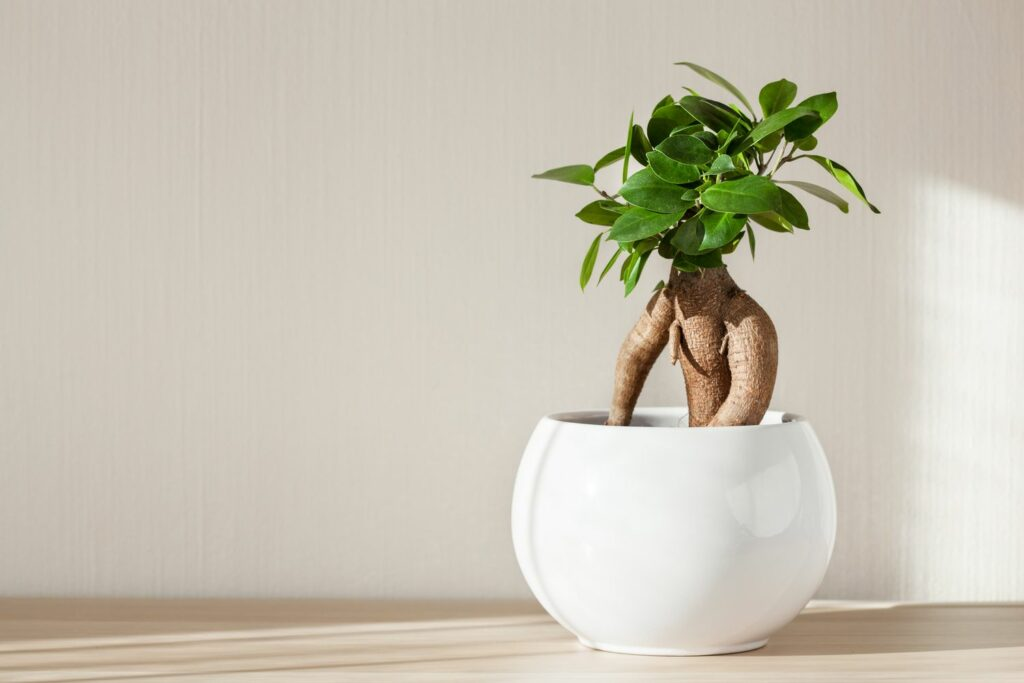 Ficus Ginseng im Topf