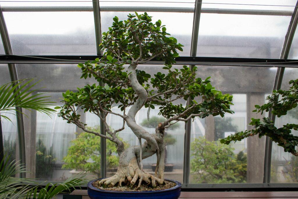 Ficus Ginseng Bonsai Baum