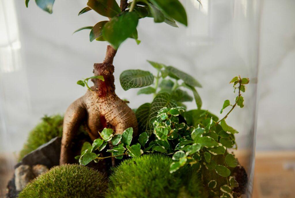 Ficus Ginseng im Terrarium