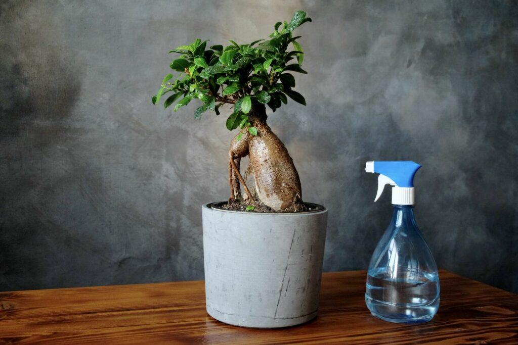 Ficus Ginseng mit Sprühflasche