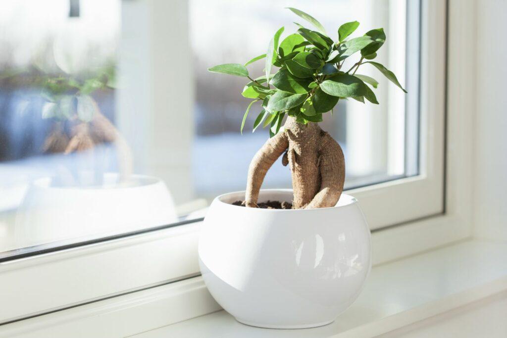 Ficus Ginseng auf dem Fensterbrett
