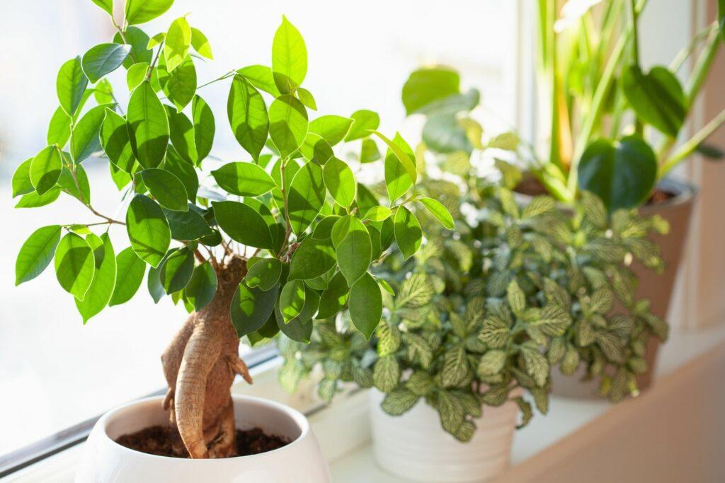 Ficus Ginseng und andere Pflanzen auf dem Fensterbrett