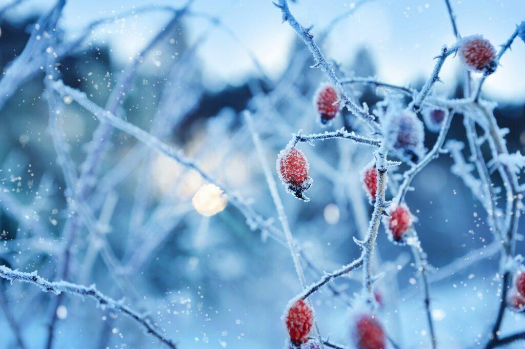 gefrorener Strauch mit roten Früchten