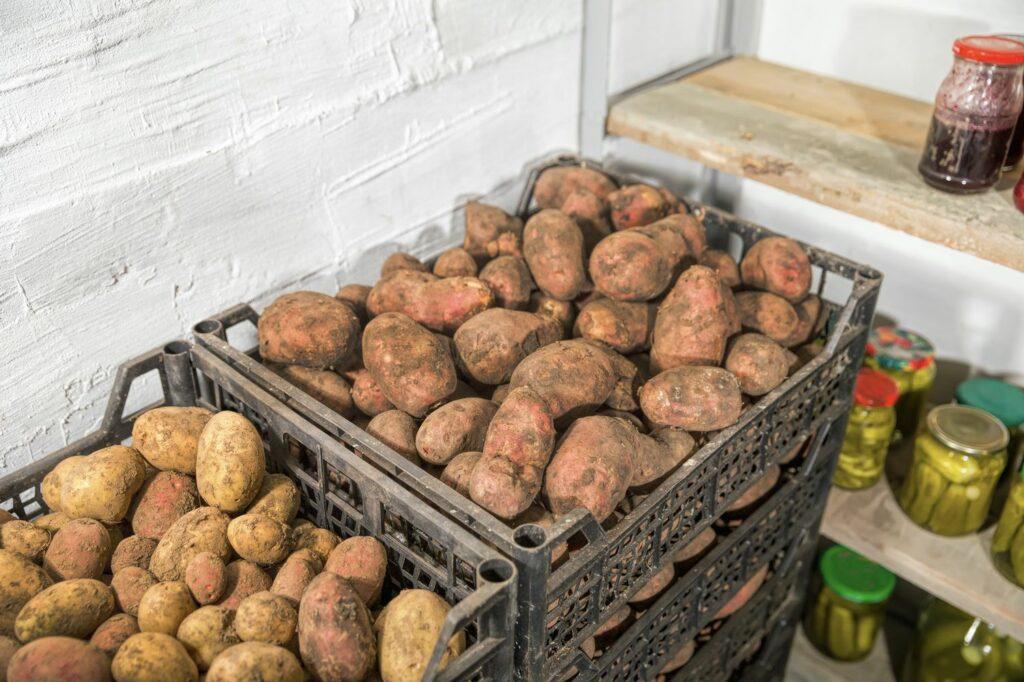 Kartoffeln im Lager