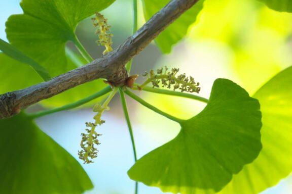 Ginkgo anpflanzen, pflegen & schneiden