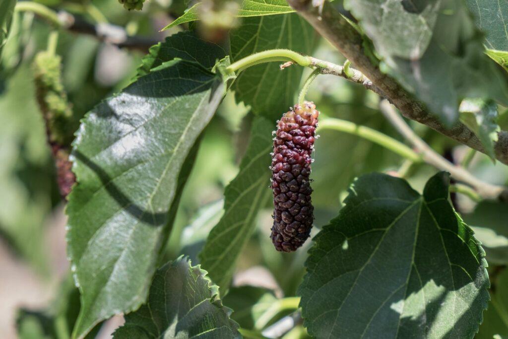 langezogene Frucht der Großfrüchtigen Maulbeere